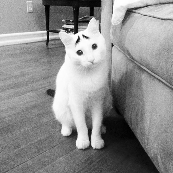 eye brows cat